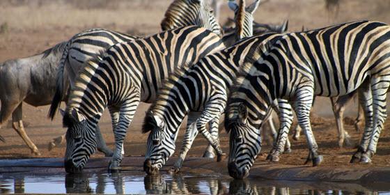 El parque nacional Kruger es el mejor lugar del mundo para disfrutar de un safari