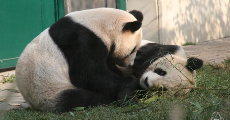 Osos panda de un zoo. Conny G. (Flickr)
