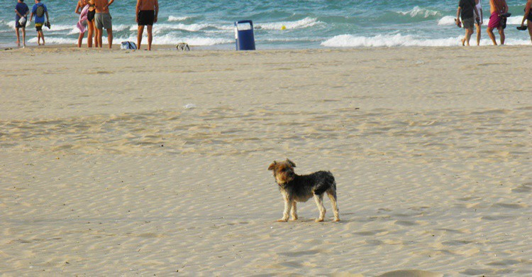 Un perro en la playa de L'Ahuir de Gandía. vicente_mb (Flickr)