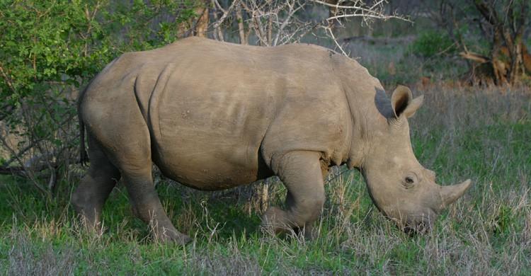 Rinoceronte (Istock)