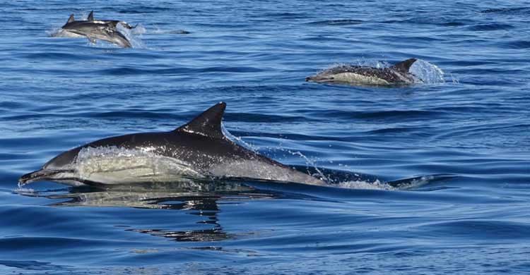 En la costa del Algarve se pueden contemplar diferentes delfines (formosamar.com)