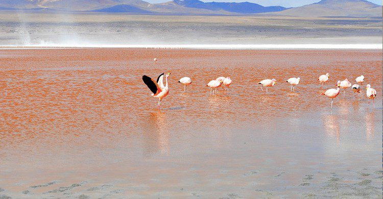 flamencos en la Laguna Colorada /Uyuni (Pixabay)