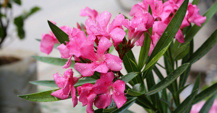 Flores de adelfa. Pookistock (iStock)