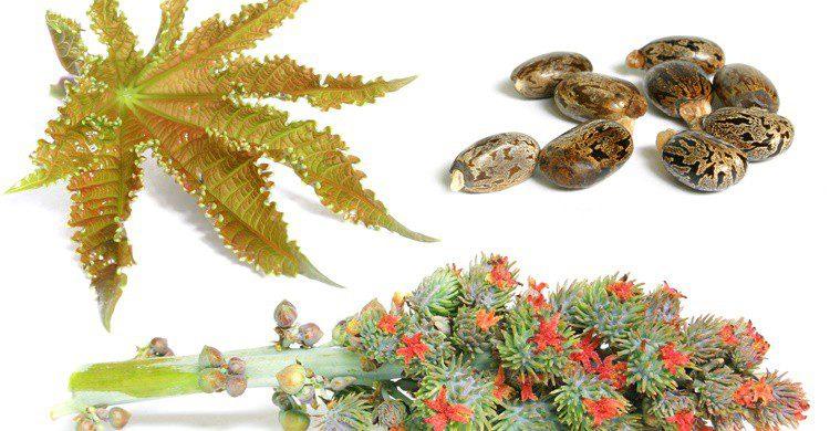 Hojas, flores y frutos de la llamada higuera infernal. Spanishalex (iStock)