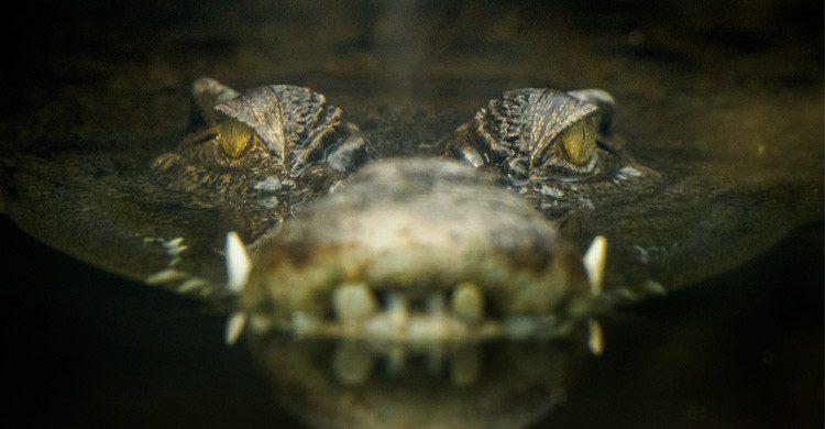 imagen cocodrilos en el pantano