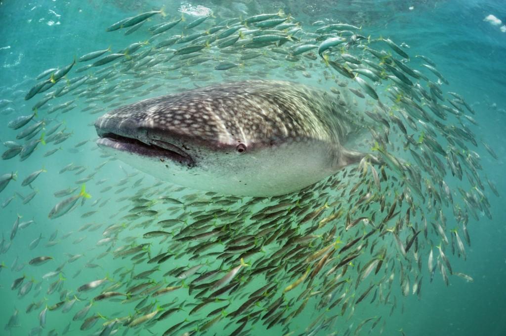 Whale Shark surrounded by school of baitfish near Isla Holbox, Yucatan, Mexico.