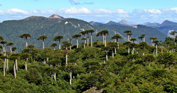 Parque Nacional de Conguillío / Foto: xerofito
