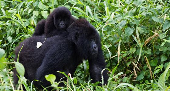 Primates del parque nacional de Virunga (Congo). / Foto: Cai Tjeenk Willink