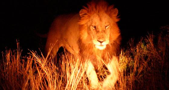 Encuentro nocturno en el parque Kruger (Sudáfrica). / Foto: Javier Ábalos Álvarez