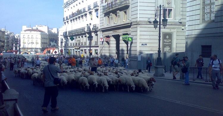 Ovejas por la calle Alcalá junto a la Puerta del Sol. Nelson Benitez (Flickr).