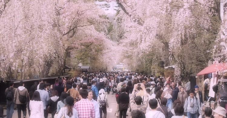 Cerezos en flor en Kakunodate. Syuzo Tsushima (Flickr)