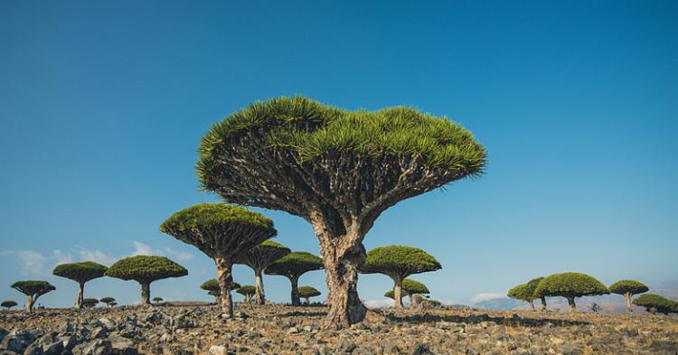 Dracanea cinnabari - Lomoody (Flickr)