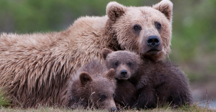 Oso Grizzly (Istock)