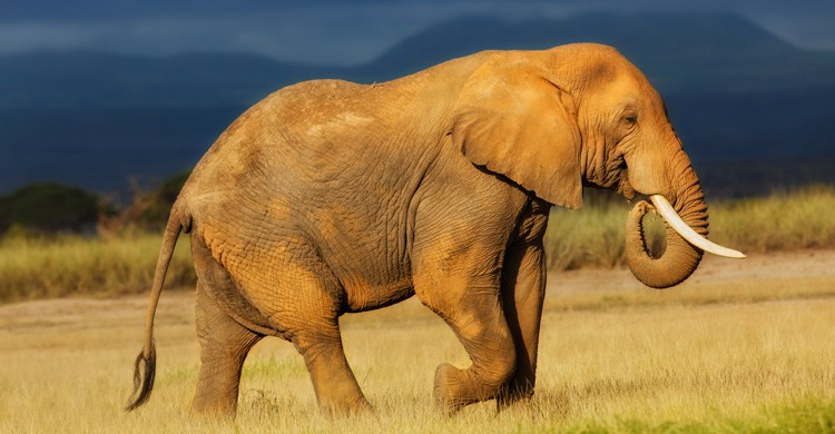 Elefante africano (Istock)