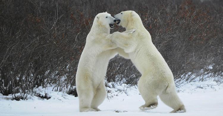 Oso Polar (Istock)