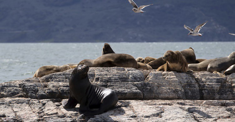 Leones marinos en las proximidades de Ushuaia. S_Lew (iStock)