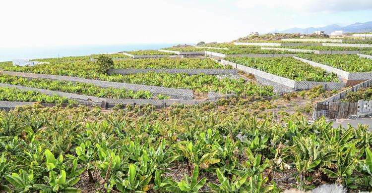 Plantación de plátanos en Canarias. Underworld111 (iStock)
