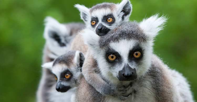 Los lémures son la especie endémica más conocida de Madagascar (iStock)