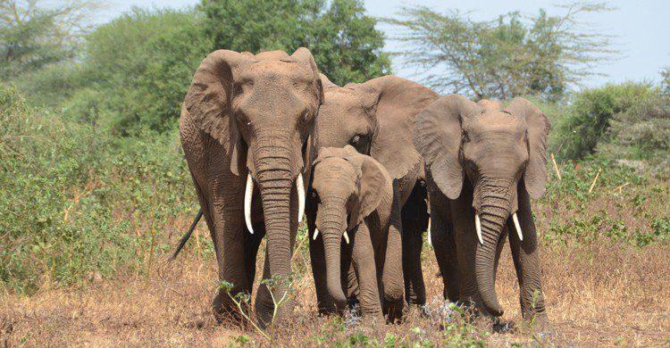 Elefantes en el Parque Nacional del Lago Manyara (wikimedia.org)