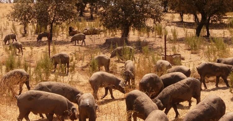 Piara de cerdos Ibéricos (Javier Ábalos Álvarez, Foter)