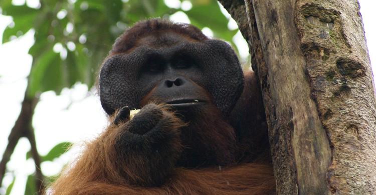 Orangután en la reserva de Semengokk, en Borneo (wikimedia.org)