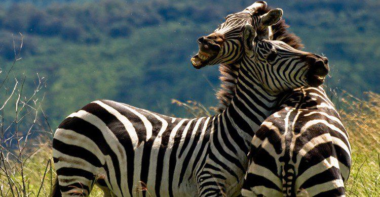 Cebras en el cráter del Ngorongoro. William Warby (Flickr)