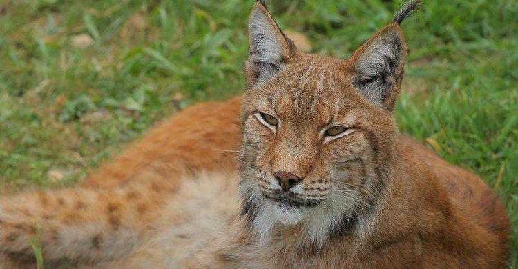 En el Parque de la Naturaleza de Cabárceno habitan especies protegidas como los linces (iStock)