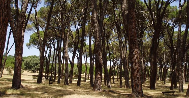 Pinar de Siete Hermanas (Edescas, Wikipedia)