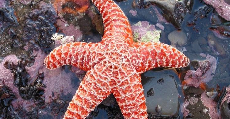 Estrella de mar (Peter Kaminski, Foter)