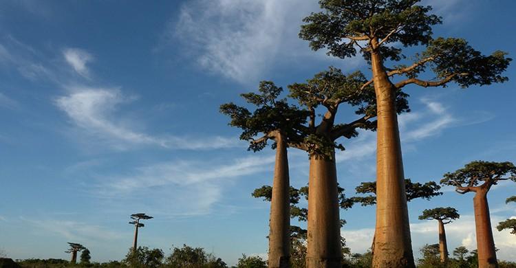 Varios baobabs en Madagascar