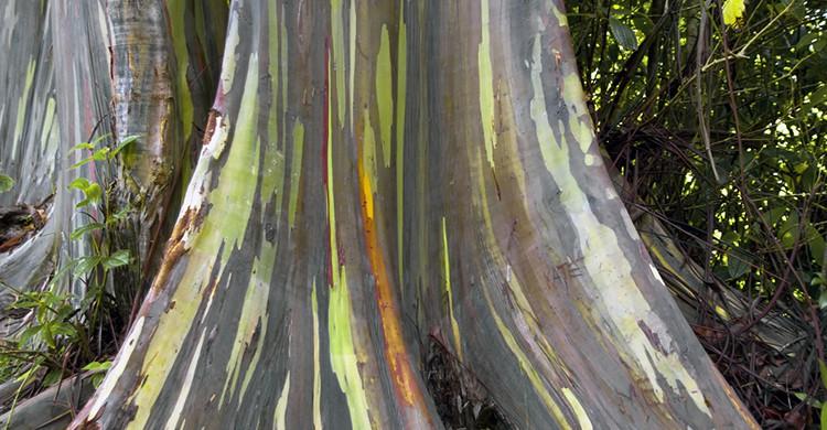 Tronco multicolor de un eucalipto arco-íris