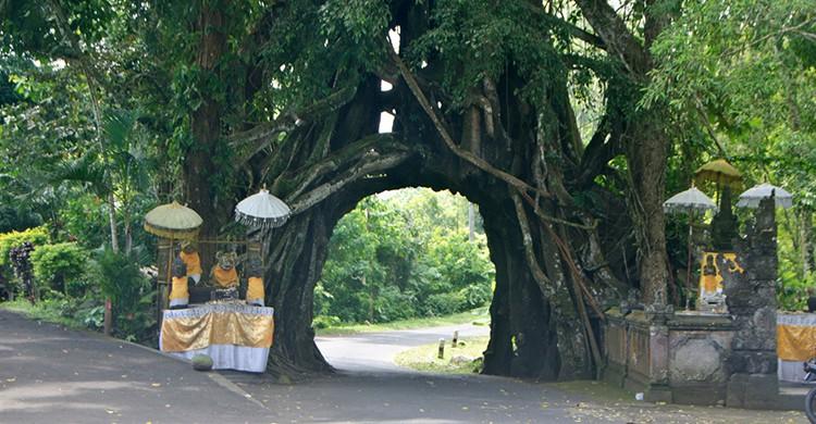 Una calle atraviesa el árbol Bunut Bolong en Bali