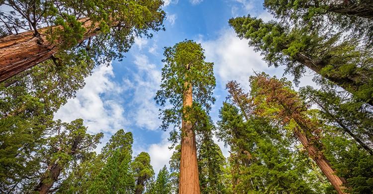 Secuoyas gigantes en el Parque Estatal Redwood Humboldt, en California