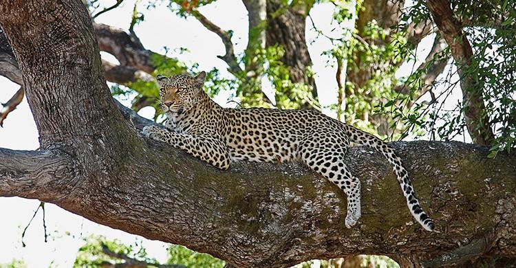 Un leopardo descansa sobre un árbol en Kenia