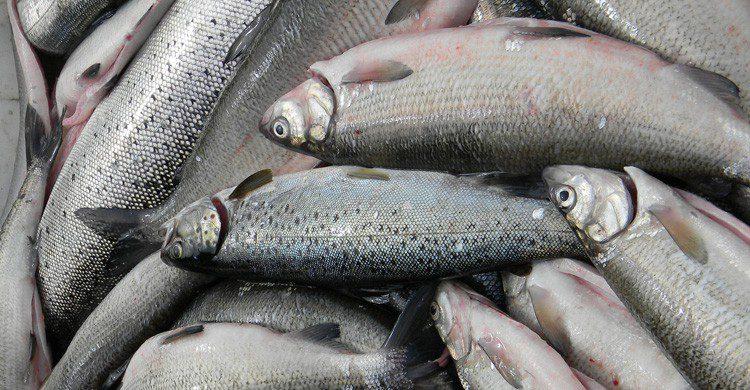 En 1848, los peces fueron protagonistas de una rara lluvia (Fuente: Maarit Lundback / Flickr)